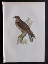 Morris 1897 Antique Hand Col Bird Print. Buzzard